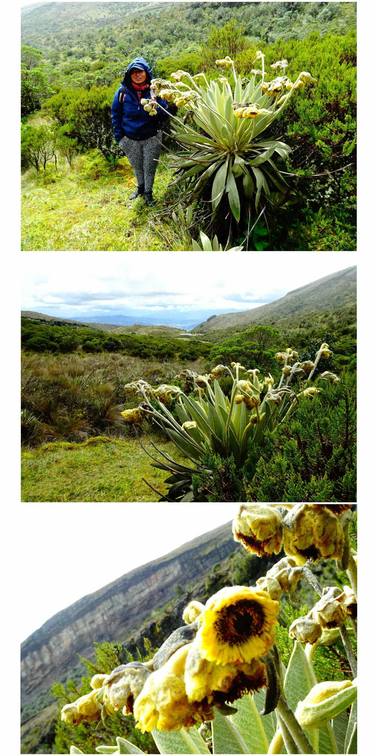 Oceta tournesols endémiques